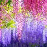 colorful-flowers-wallpaper-e1435717246366-150x150